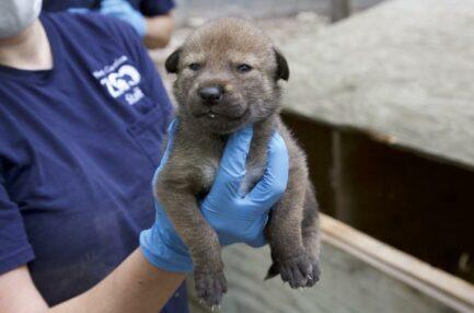red wolf puppy