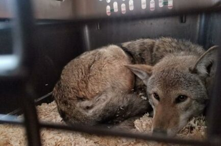New Hope for the Red Wolf?